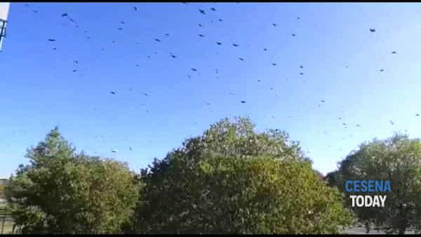 Il frastuono e il volo di migliaia di uccelli sulle città della Romagna