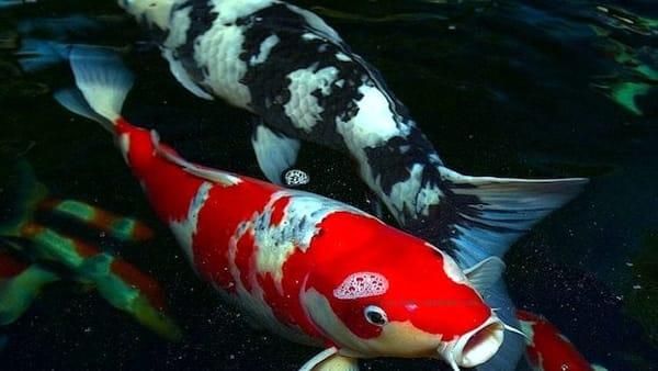Italian Koi Show, in mostra le meraviglie della tradizione giapponese