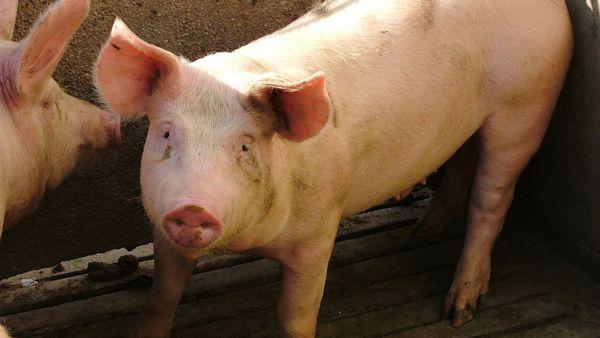 A Montiano la dodicesima Festa del maiale